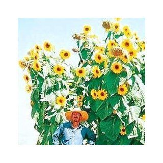 King Kong Sunflower 20 Seeds  TALLEST! : Flowering Plants : Patio, Lawn & Garden