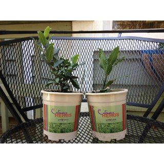 "Hirt's Sweet Bay Laurel Herb  Laurus nobilis  4"" pot : Herb Plants : Patio, Lawn & Garden"