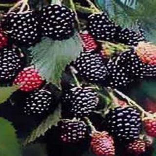 OnlinePlantCenter 1 gal. Black Satin Thorn Less Blackberry Fruit Plant R3820G1