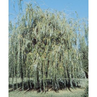 3.63 Gallon Golden Weeping Willow Shade Tree (L7641)